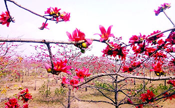 পর্যটকদের দৃষ্টি কাড়ছে তাহিরপুরের অপূর্ব শিমুল বাগান