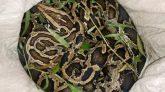 শ্রীমঙ্গলে চা-বাগান রোড থেকে ১২ ফুট লম্বা অজগর উদ্ধার